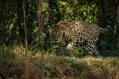 American jaguar in the darkness of a brazilian jungle Stock Image