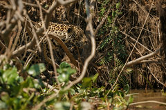 American jaguar in the darkness of a brazilian jungle Stock Photography