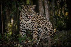 American jaguar in the darkness of a brazilian jungle Royalty Free Stock Photo
