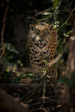 American jaguar in the darkness of a brazilian jungle Stock Photos