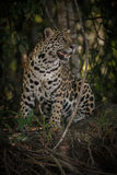 American jaguar in the darkness of a brazilian jungle Royalty Free Stock Photos