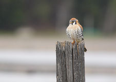 An American Kestral. An American Kestral is perched on a fence post Stock Photo