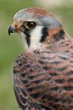 American Kestral (Falco sparverius). Captive bird stock photo