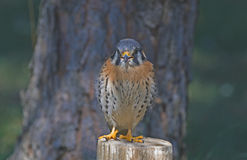 American kestrel. Young American kestrel on fence post Royalty Free Stock Images