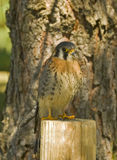 American kestrel. Young American kestrel on fence post Stock Photography