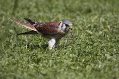 American kestrel. The American Kestrel (Falco sparverius) is a small falcon. This bird was (and sometimes still is) colloquially known in North America as the Royalty Free Stock Photo
