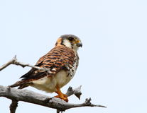 Free American Kestrel Royalty Free Stock Photography - 16380967