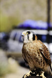 American Kestrel Stock Photo