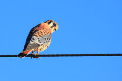 American Kestrel Stock Images