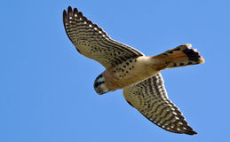 American Kestrel Royalty Free Stock Photos