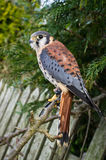 American Kestrel. A captive American Kestrel  close-up Stock Image