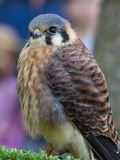 American Kestrel Royalty Free Stock Image