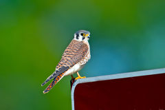 American Kestrel stock photography