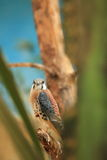 American kestrel. The american kestrel sitting on the branch Stock Photos