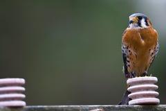American Kestrel. An American Kestrel sits on a telephone pole Stock Image