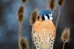 American Kestrel - Adult Male Royalty Free Stock Photo