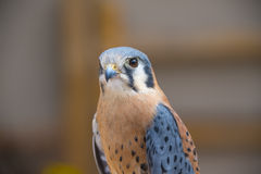 American Kestrel Royalty Free Stock Images