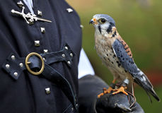 American Kestrel Also Known As A Sparrow Hawk Royalty Free Stock Photos