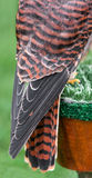 American Kestrel Back and Tail Feathers Royalty Free Stock Image