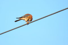 American Kestrel bird on wire. American kestrel bird perched on overhead wire with food; blue sky background Royalty Free Stock Images