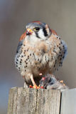 American Kestrel. With a bloody beak and fluffy feathers, and what looks like an erection Stock Photography