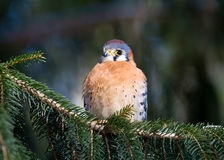 American Kestrel. On a Branch Stock Photo