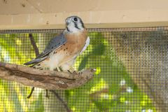 American Kestrel in Captivity Royalty Free Stock Photography