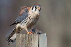 American Kestrel Consuming Prey. As the wind blows a few of its feathers up and it makes eye contact with the camera Royalty Free Stock Images