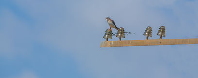 American Kestrel on electric pole Royalty Free Stock Photos