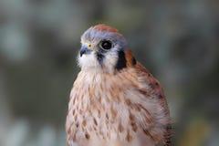 American Kestrel (Falco sparverius) Stock Image