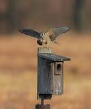 American Kestrel (falco sparverius) Stock Photography