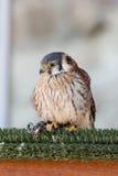 American Kestrel (Falco sparverius) Royalty Free Stock Photography