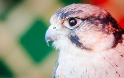 American Kestrel Falco sparverius Stock Images