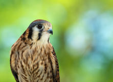 American Kestrel (Falco sparverius) Stock Photos