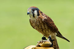 American Kestrel (Falco sparverius) Stock Photo
