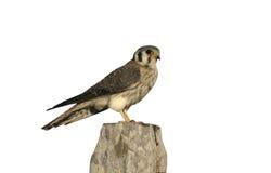 American kestrel, Falco sparverius Stock Photo