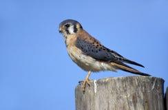 American kestrel, Falco sparverius Stock Photography