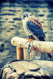 American kestrel (Falco sparverius) sitting on a perch Stock Photo