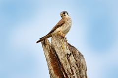 American kestrel Falco sparverius, sitting on the tree trunk, little bird of prey sitting on the tree trunk, Brazil. Birds in the royalty free stock photo