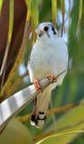 American Kestrel (Falco sparverius sparveroides) Stock Photos