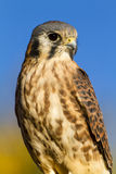 American Kestrel Falcon in Autumn Setting Royalty Free Stock Photos