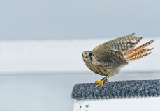 American Kestrel Falcon (falco sparverius) Royalty Free Stock Images