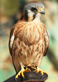 An American Kestrel on a Falconer's Glove Stock Image