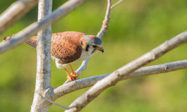 American Kestrel feeding on lizard Royalty Free Stock Photos