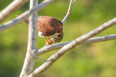 American Kestrel feeding on lizard Royalty Free Stock Photography