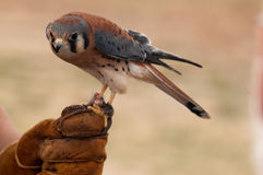 American Kestrel on Finger. American Kestrel resting on finger at the World Center of Birds of Prey in Boise, Idaho Stock Photo