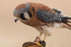 American Kestrel on Finger. American Kestrel resting on finger at the World Center of Birds of Prey in Boise, Idaho Stock Photography