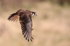 American Kestrel In Flight Royalty Free Stock Image