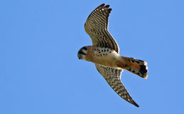 American Kestrel in flight. Royalty Free Stock Photography
