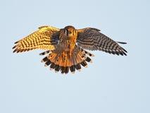 American Kestrel in Flight Stock Images